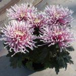 Chrysanthème 5 fleurs spider geny cernay