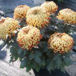 Chrysanthème 7 grosses fleurs mordorées geny cernay