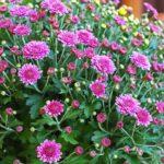 Chrysanthème multifleurs geny cernay