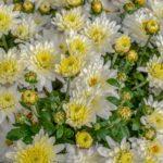 Chrysanthèmes multifleurs blanc geny cernay