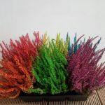 Callunas teintées geny cernay