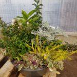 Coupe Toussaint 6 plantes D.36