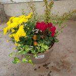 Coupe ronde alfa D.23 3-4 plantes + 1 sujet