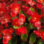 Bégonias rouge Geny Cernay