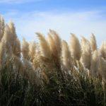 Cortaderia 'herbe de la pampa' geny cernay