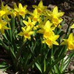 Narcisse jonquille jaune Geny Cernay