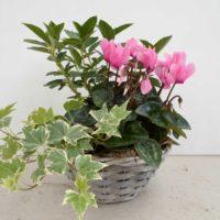 Panier osier 3 plantes automnales Geny Cernay