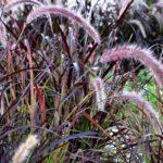 Pennisetum fireworks geny cernay