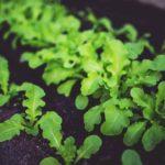 Plant de salade geny cernay