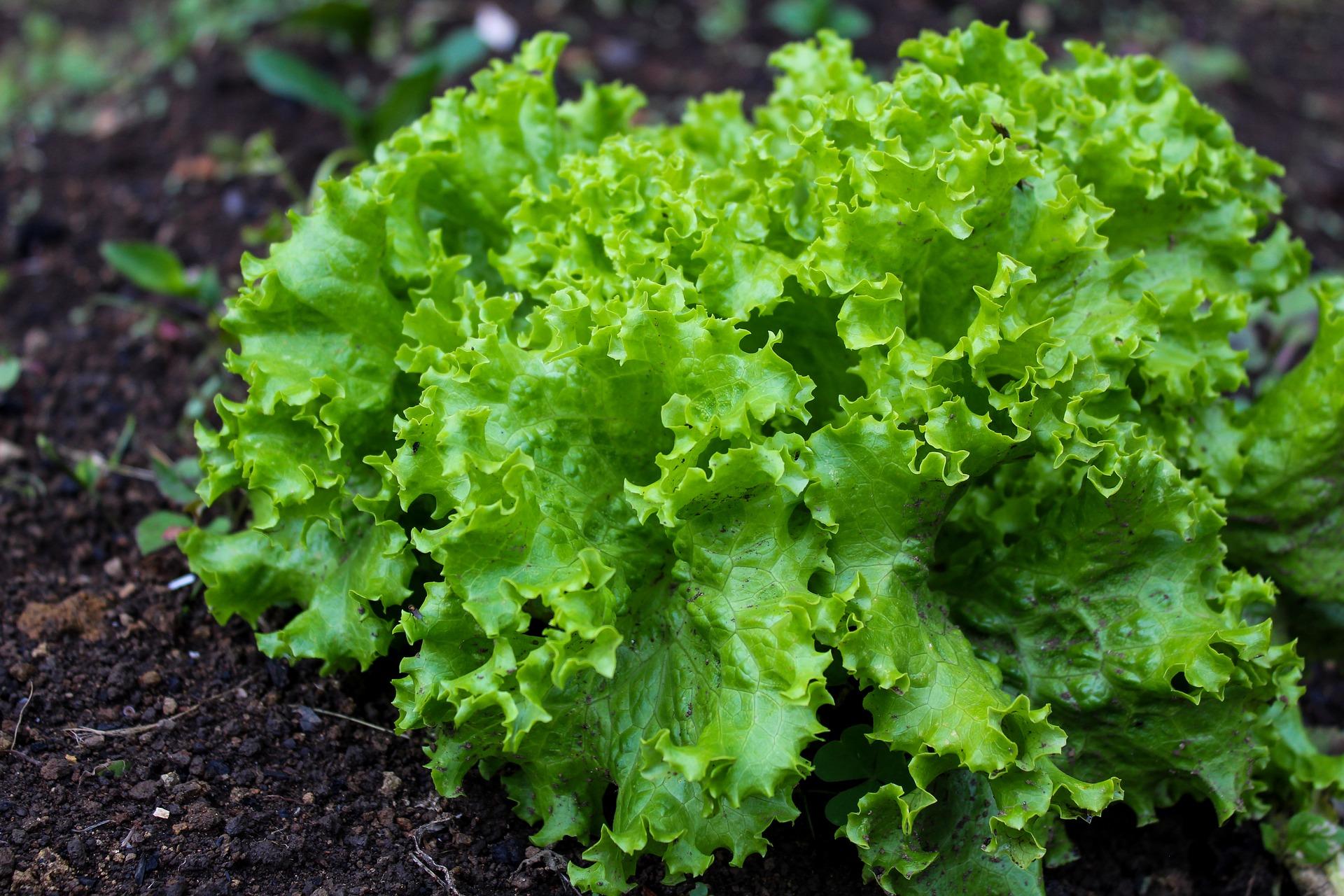 Salade Geny Cernay