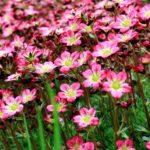 Saxifrage rose Geny Cernay