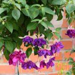 Suspension fuchsia geny Cernay