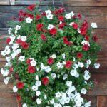 Suspension petunia retombant geny cernay