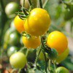 Tomates jaunes Geny Cernay