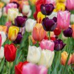 Tulipe mélange geny cernay