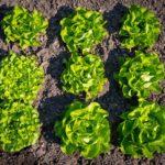 Plantation salade Geny Cernay