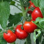 Tomate grappe rouge Geny Cernay