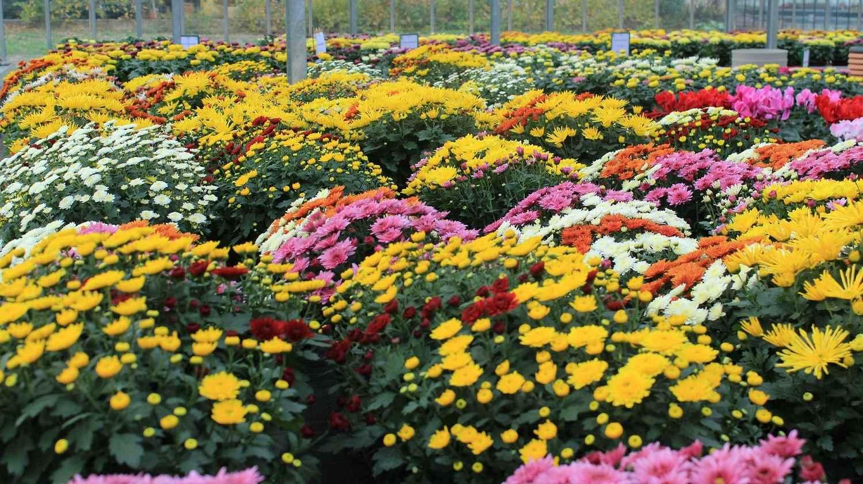 Chrysanthèmes multifleurs Sélestat Geny