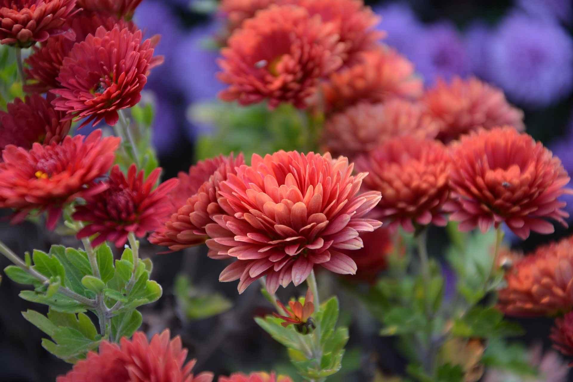 Chrysanthème Geny Cernay